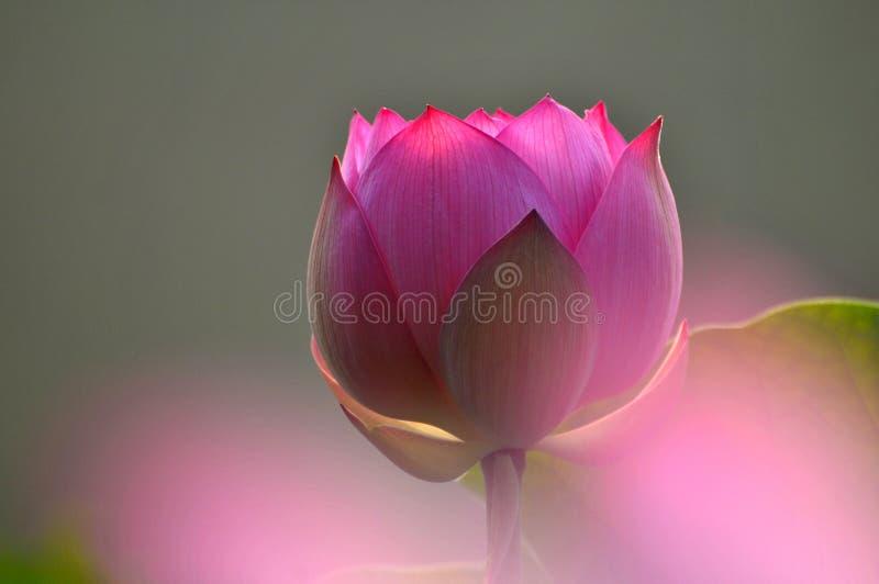 Бутон цветка лотоса стоковые фотографии rf