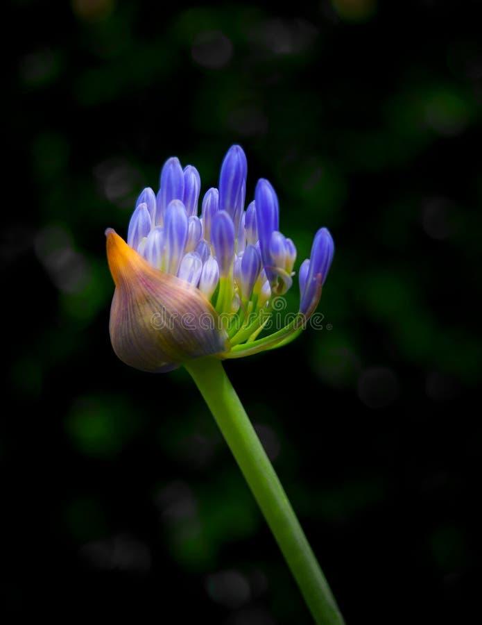 Бутон цветка Agapanthus с разряженной задней землей стоковые фото