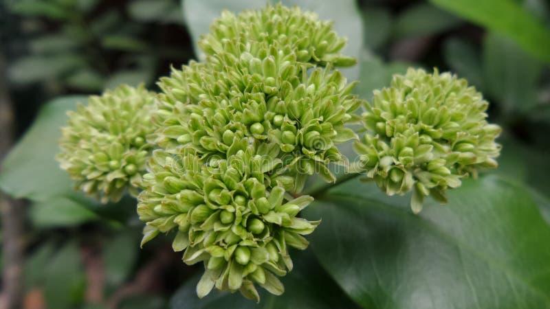Бутон цветков иглы стоковое фото