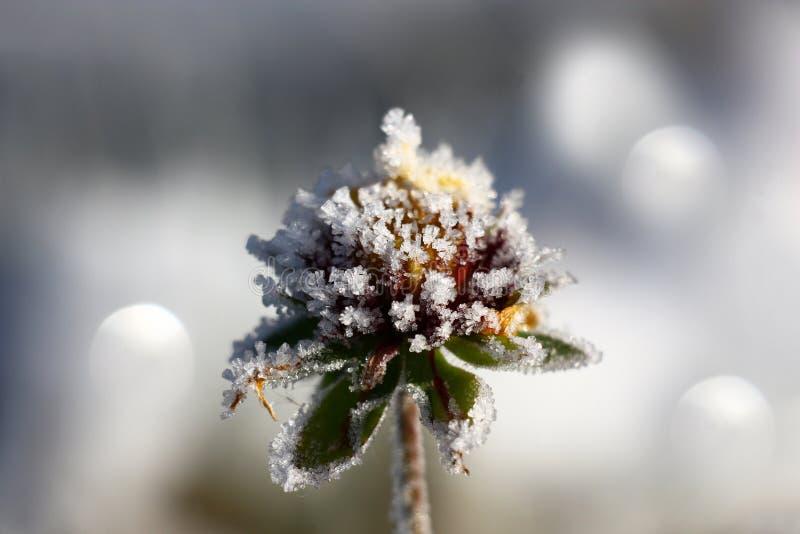 Бутон Gaillardia в изморози стоковое фото
