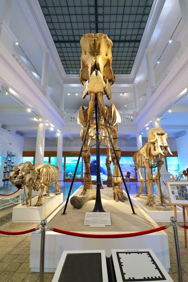 БУХАРЕСТ, РУМЫНИЯ, ФЕВРАЛЬ 5-ое 2015: Мамонтовые косточки на Национальном музее Grigore Antipa естественной истории стоковые изображения rf
