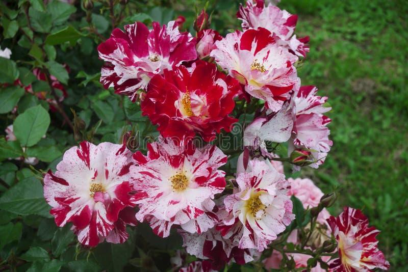 Буш бело-красных и розовых роз, с желт-зелеными листьями, конец-вверх стоковое фото rf