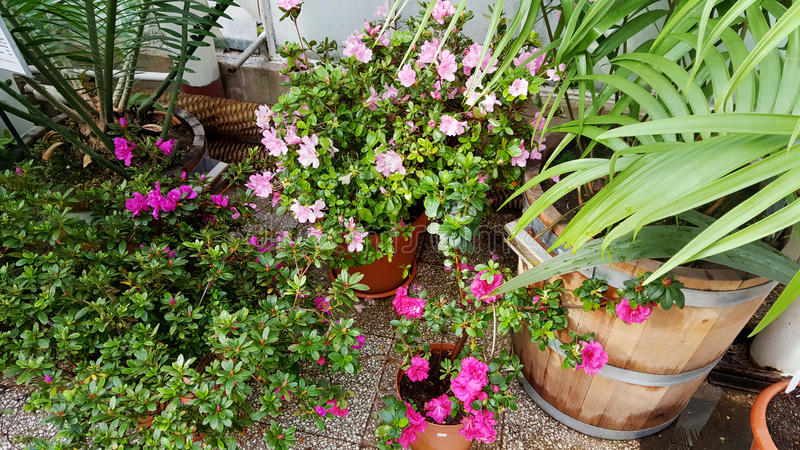Буш зацветая азалий в ботаническом саде стоковая фотография rf