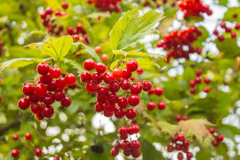 Буш красных ягод калины стоковые фото