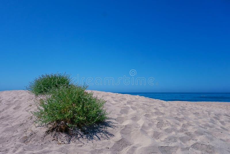Буш на маленьком песочном knoll на пляже в Санта-Барбара стоковая фотография rf
