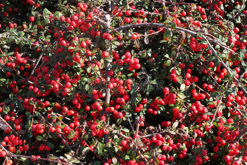 Буш с красными крошечными horizontalis кизильника ягод Кизильник род цветковых растений в розовой семье стоковые фото