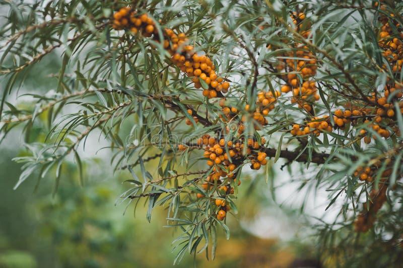 Буш с меньшими оранжевыми ягодами 8120 стоковое изображение rf