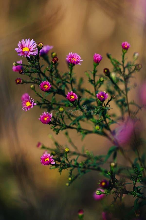 Буш с много малых розовых цветков в саде осени стоковые изображения rf