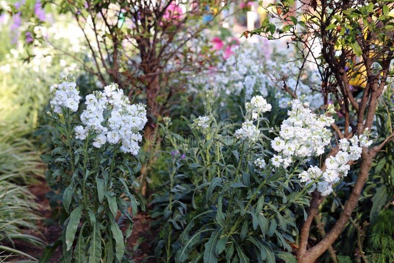Буш с много небольшими белыми цветками расположенными в Мадейре стоковые фото