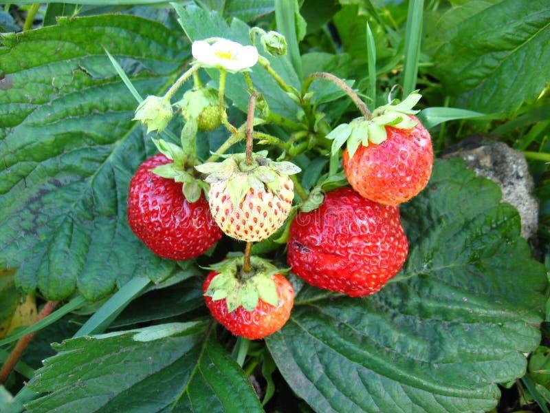 Буш с ягодами стоковое изображение