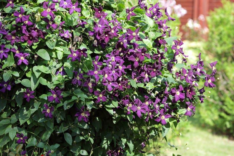 Буш фиолетового clematis в саде стоковые фотографии rf