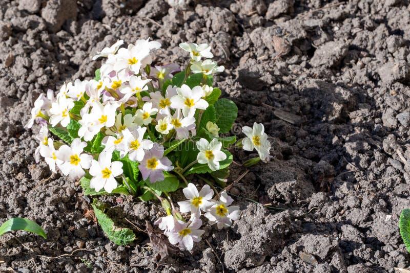 Буш цветут примулы белый с желтым сердцевинной royaltyfri bild