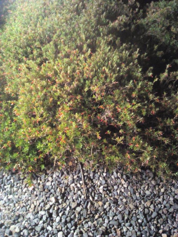 Буш & x28; shrub& x29; & камни стоковая фотография