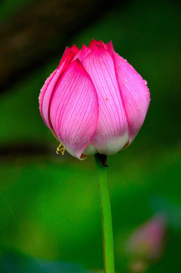 Будет зацветая лотосом от Ханчжоу стоковая фотография