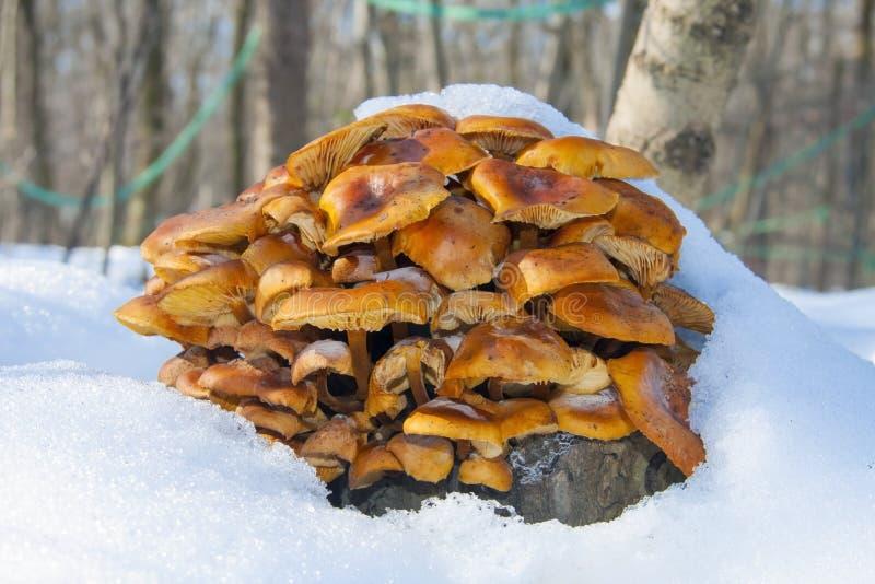 Будьте enokitake d или золотой гриб иглы (velutipes Flammulina) стоковое изображение rf