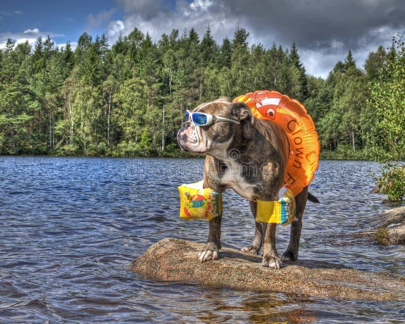 Бульдог в озере с floaties дальше в HDR стоковое фото rf