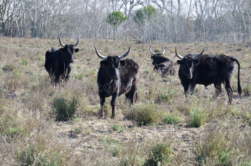 быки в Camargue стоковое фото