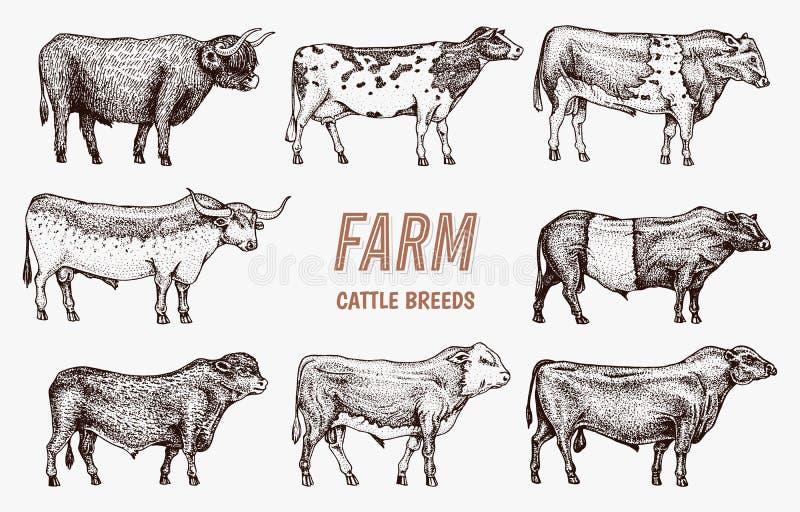 Быки и коровы скотин фермы Различные породы домашних животных Выгравированный эскиз нарисованный рукой monochrome винтажная линия бесплатная иллюстрация