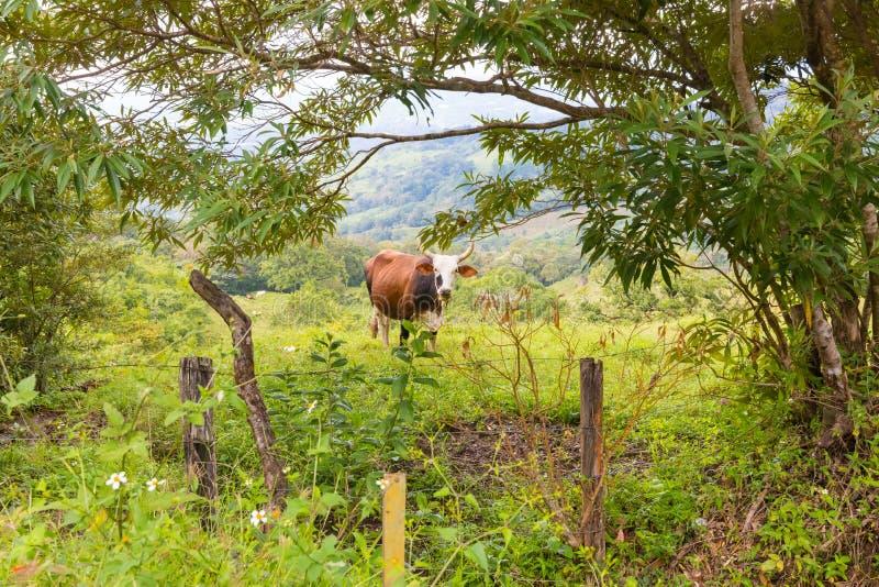 Бык выгона в холмах Панамы стоковые фотографии rf