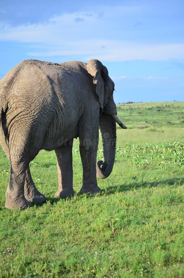Бык слона стоковая фотография rf