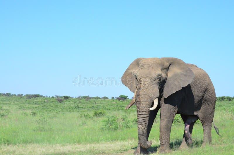 Бык слона стоковые изображения rf