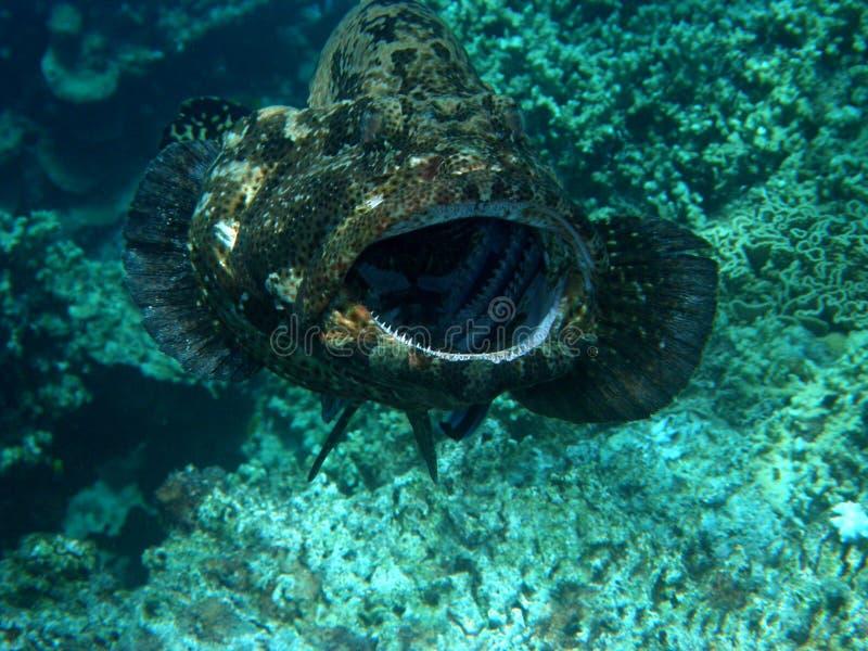 был очищенным grouper гиганта Фиджи стоковые изображения
