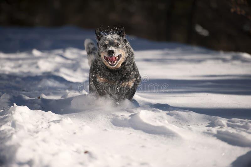 Быстрая и злющая собака стоковые фото