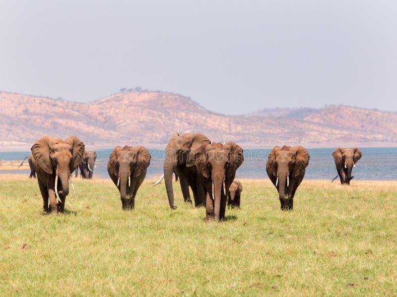 Благоустраивайте взгляд табуна слонов с фоном горы стоковые изображения rf