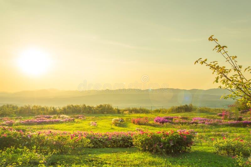 Благоустраивайте розовые цветки на горе и солнце лета стоковое изображение rf