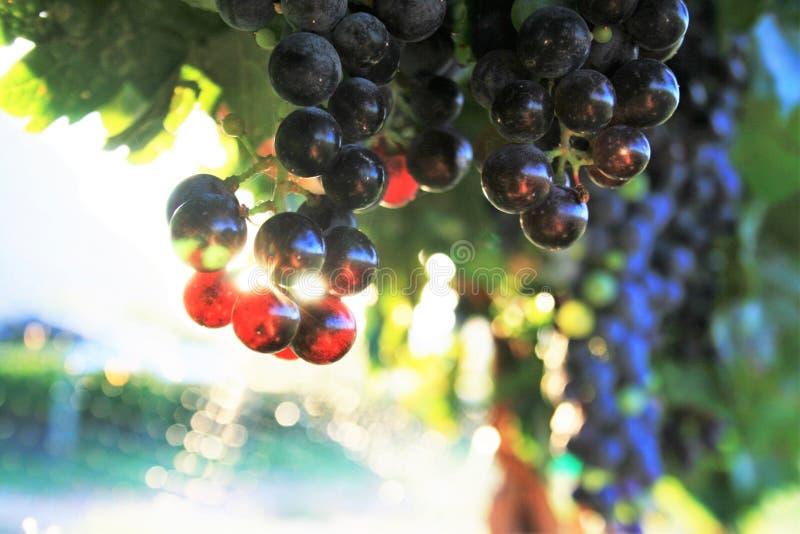 Блески Солнця через виноградины вина стоковые фотографии rf