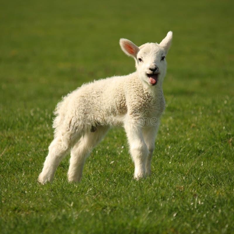 Блеяя маленькая овечка стоковые изображения rf