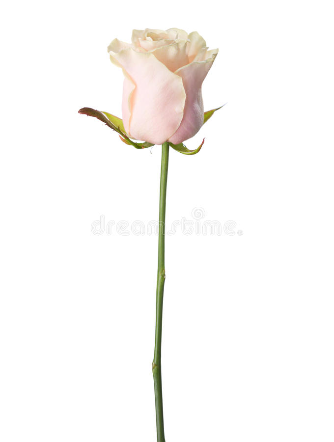 Бледный свет - роза пинка стоковое изображение rf
