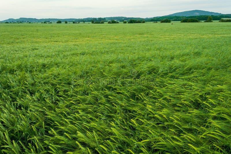 близкая зеленая весна вверх по пшенице стоковое фото