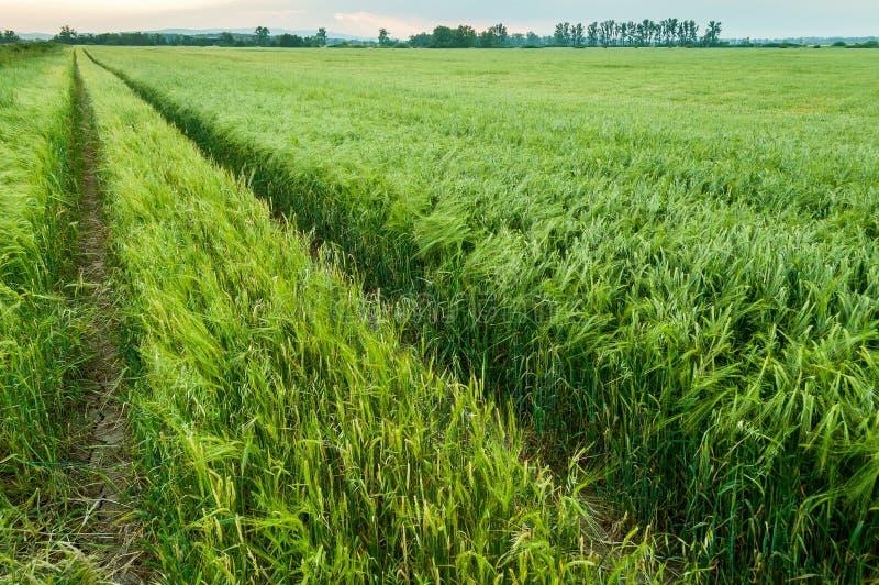 близкая зеленая весна вверх по пшенице стоковые изображения