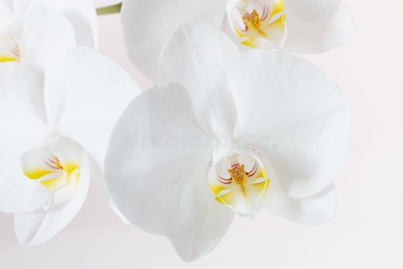 близкая орхидея вверх по белизне стоковая фотография