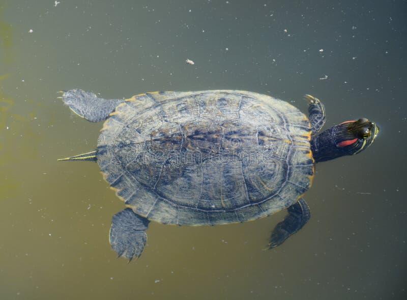 близкая черепаха заплывания моря фото вверх стоковая фотография rf