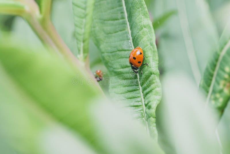 близкие листья ladybug вверх стоковая фотография rf