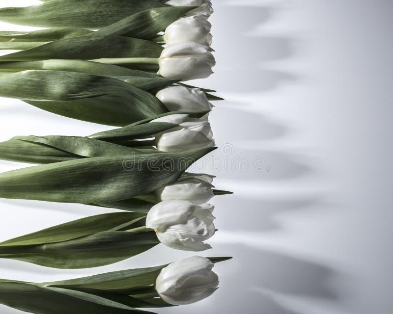 близкие тюльпаны поднимают белизну стоковые изображения rf