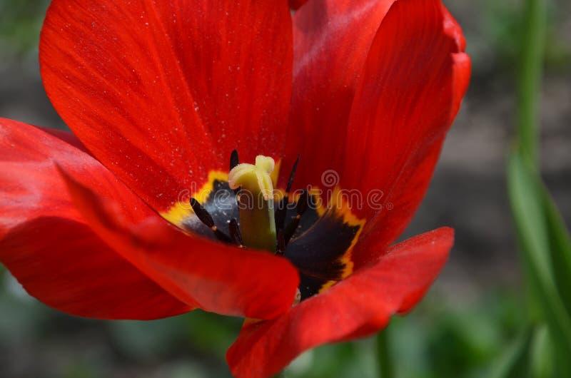 близкий красный тюльпан вверх стоковая фотография rf