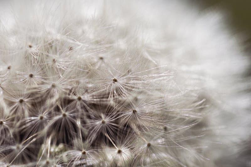 близкий одуванчик вверх Красивый осеменяя цветок одуванчика с отмелым фокусом в крупном плане макроса стоковое фото rf