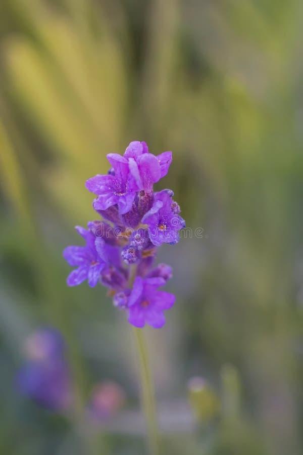 близкий пурпур цветка вверх стоковая фотография rf