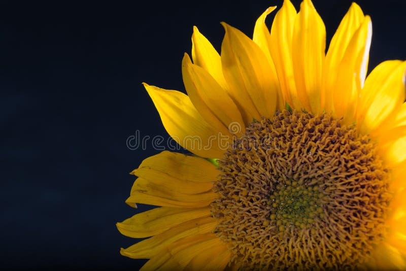 близкий солнцецвет Венгрии поля вверх стоковое фото rf