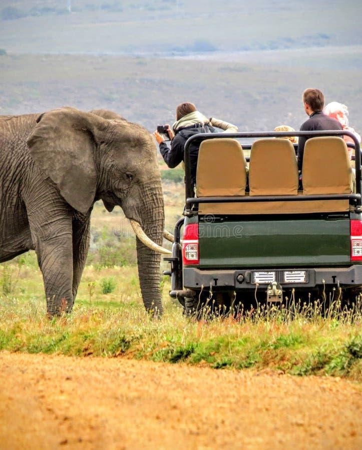 Близкое знакомство с африканским слоном на сафари в Африке стоковые фотографии rf