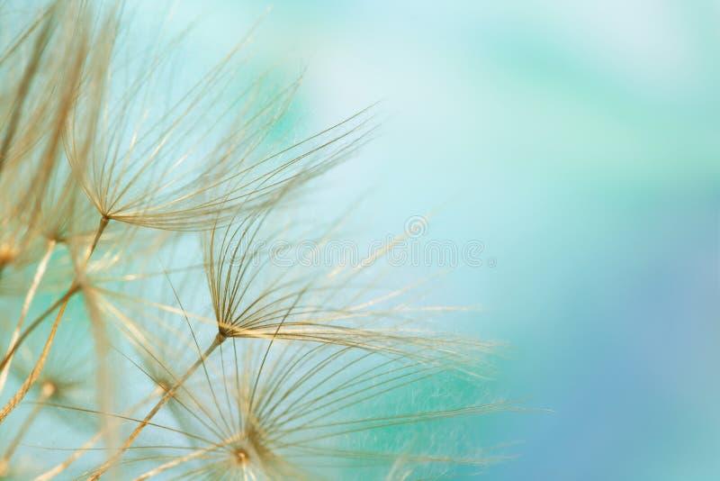 близкое семя одуванчика вверх стоковые фото