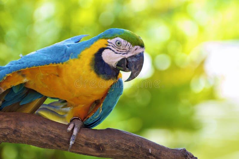 Бдительная красочная мексиканская ара попугая с голубыми и оранжевыми пер стоковые фотографии rf