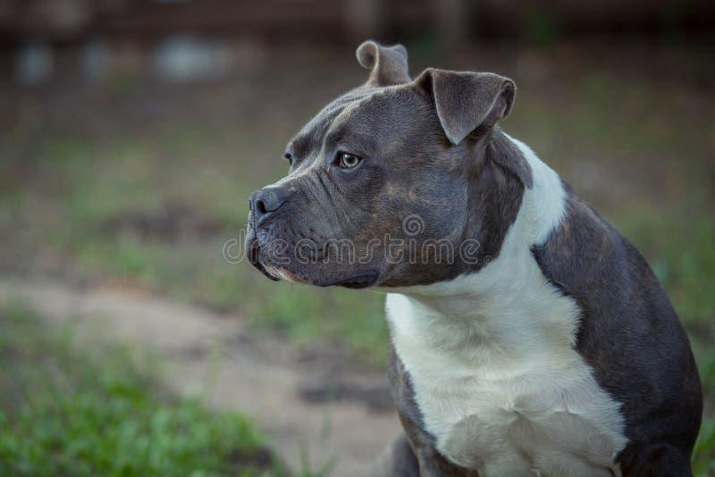 Бдительное pitbull стоковые фото