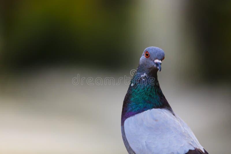 Бдительный голубь стоковая фотография