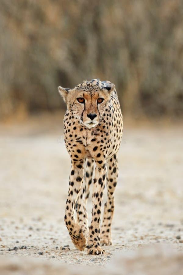 Бдительный идти гепарда стоковая фотография rf