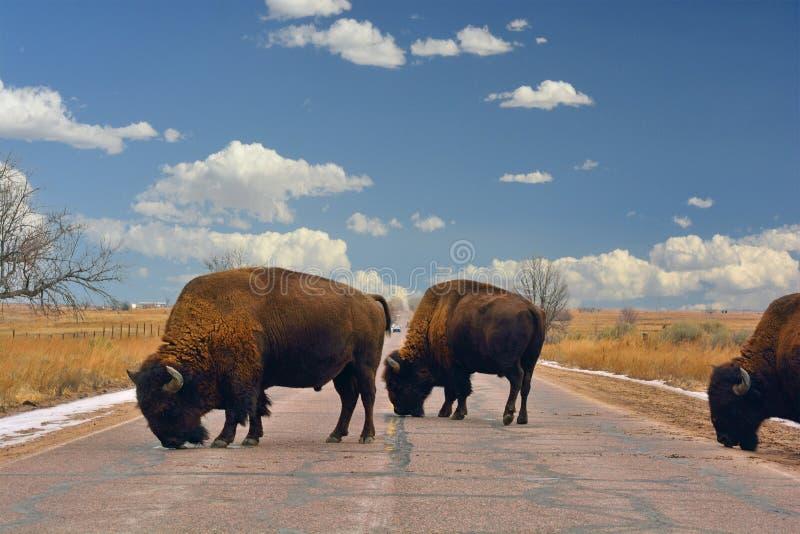 Блок буйвола американского бизона дорога стоковые фотографии rf
