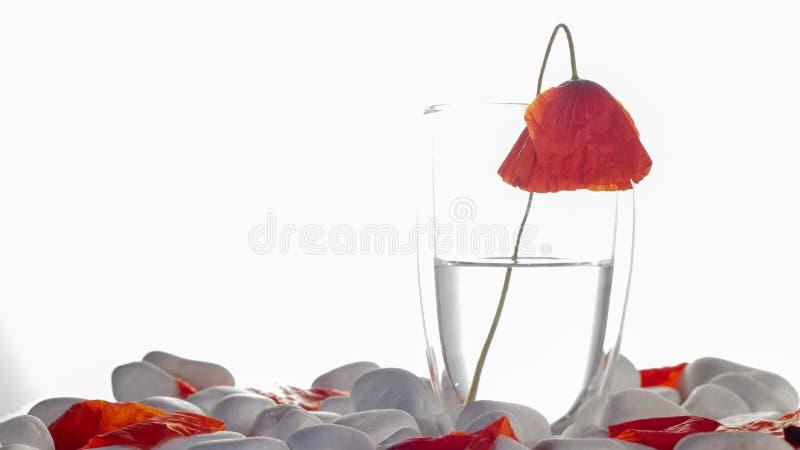 Ваза с красивыми красными цветками мака на белом конце предпосылки утеса вверх стоковое изображение rf
